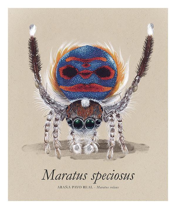 Maratus speciosus
