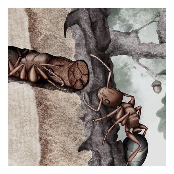 Phragmosis – Colobopsis truncata