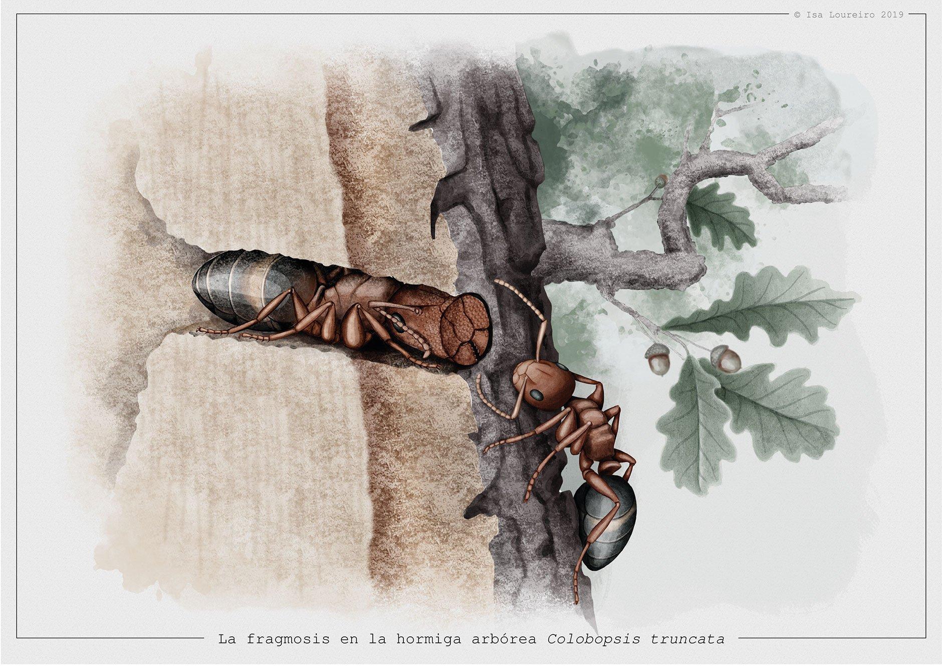 Fragmosis_Colobopsis_truncata_isaloureiro