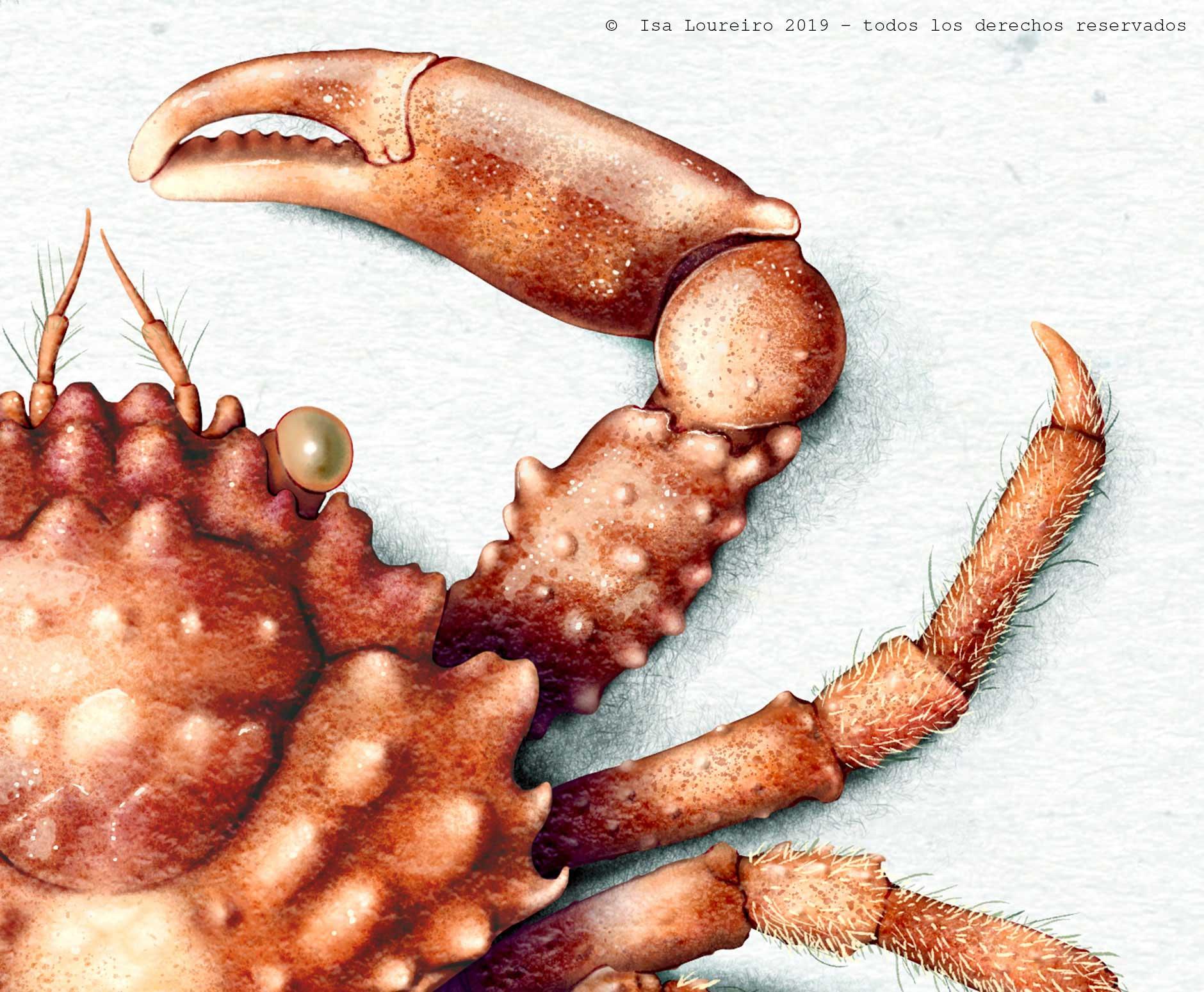 Mithrax_Pleuracanthus_Detail_isa_loureiro