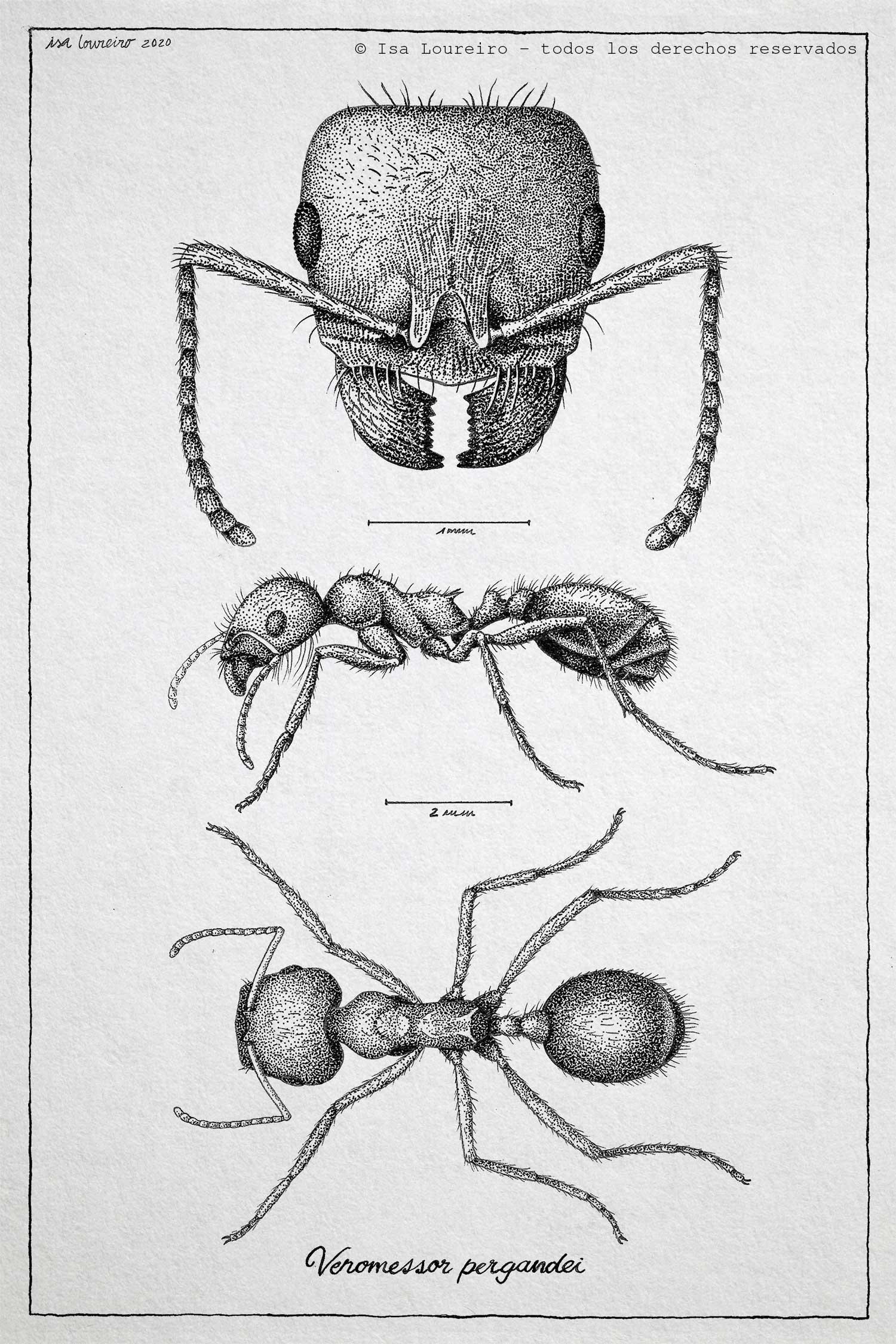 Hormiga Veromessor pergandei