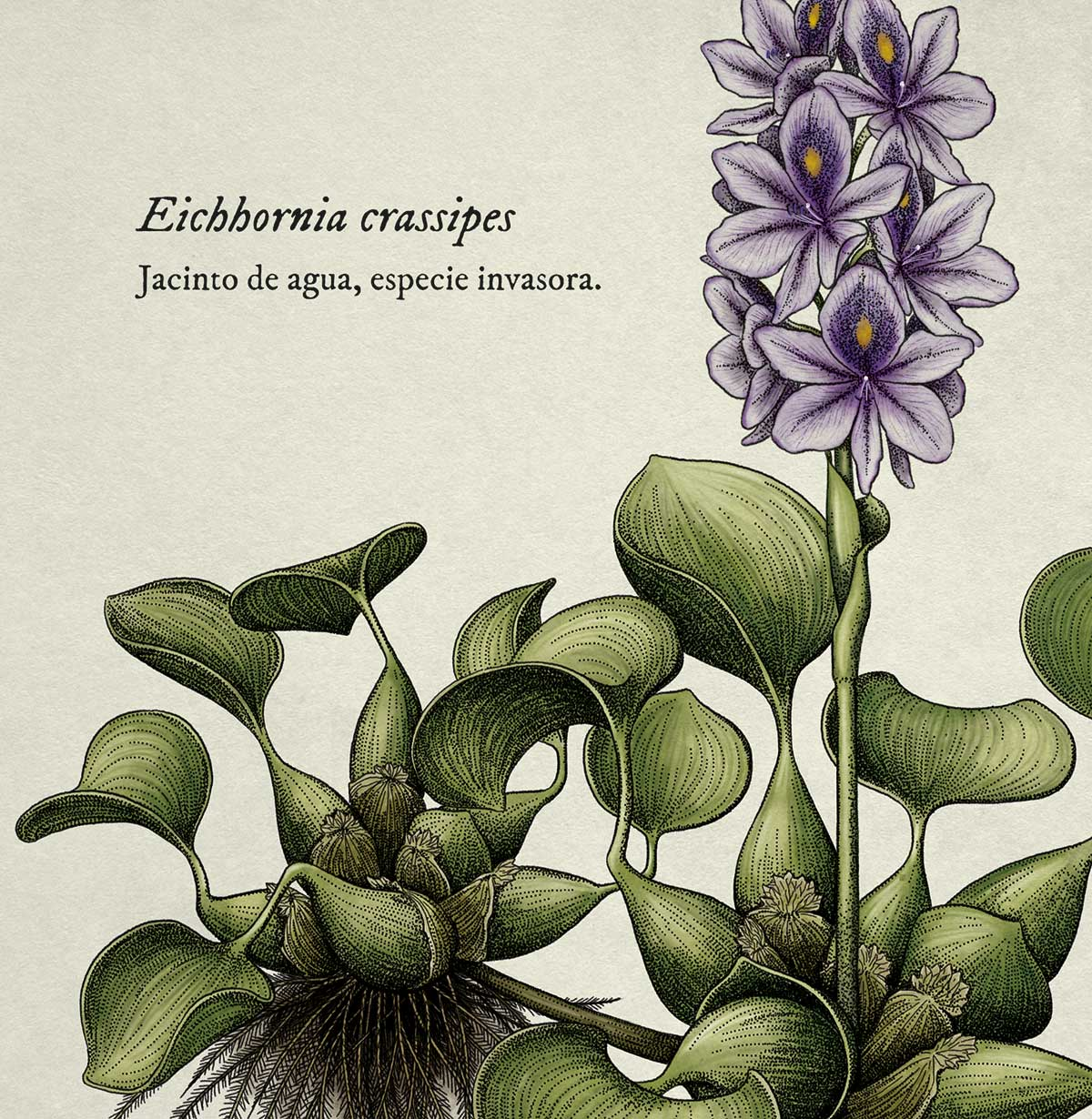 Eichhornia_crassipes_jacintodeagua_Isaloureiro_2