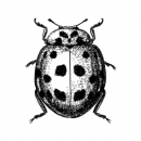 Coleoptera_Harmonia axyridis